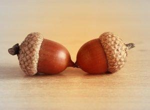 acorn-1017796_1920