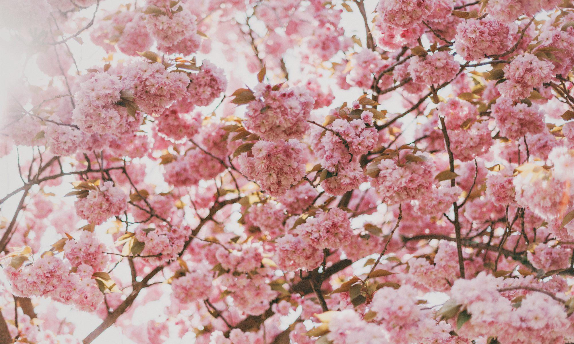hanami primavera rinascita