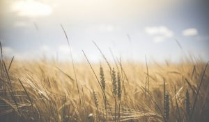 grano fertilità terra rinascita